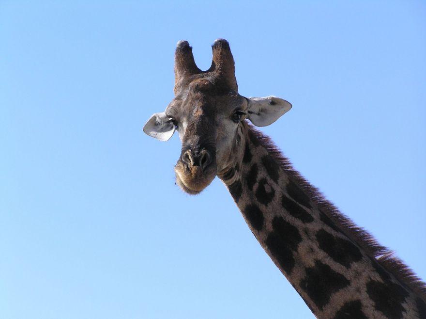 Giraffe in Etosha National Park