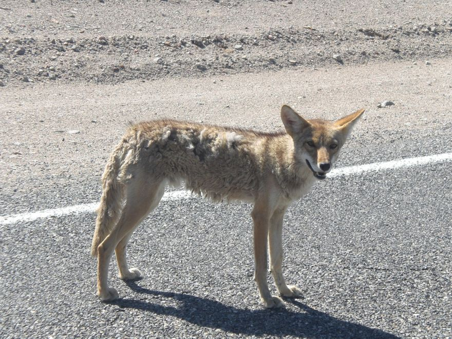 Wild dog in Death Valley National Park