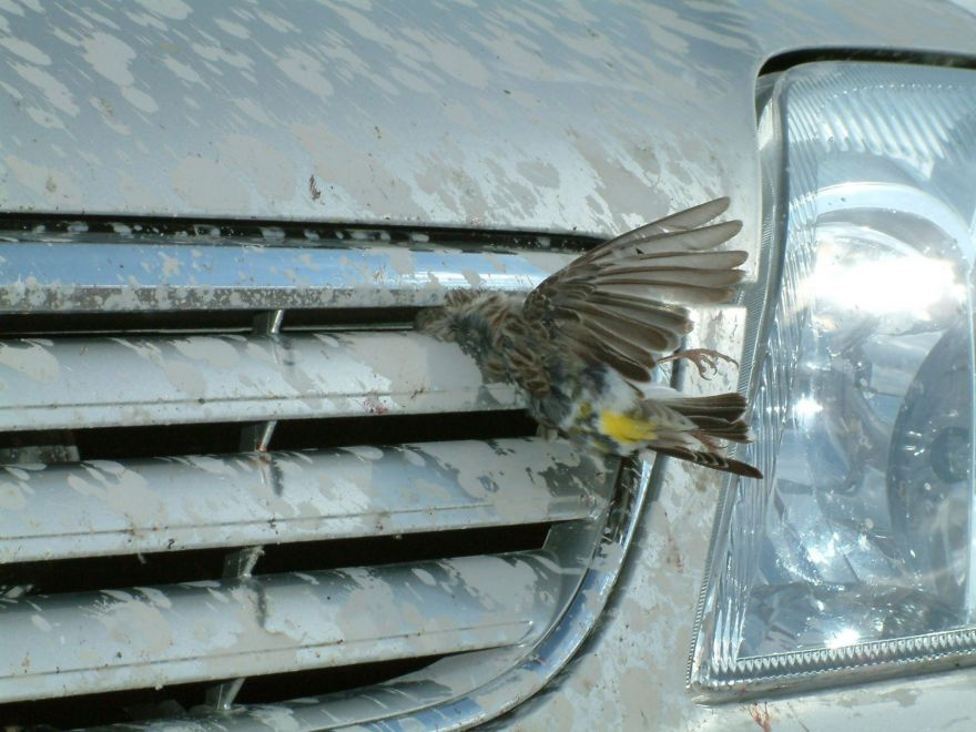 Bird stuck in car